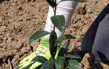 joyworkzの畑に、月桂樹を植えました。