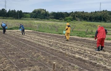 サツマイモの作付準備1